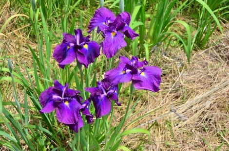 四万十花紀行 トンボ自然公園「花菖蒲まつり」・「睡蓮まつり」