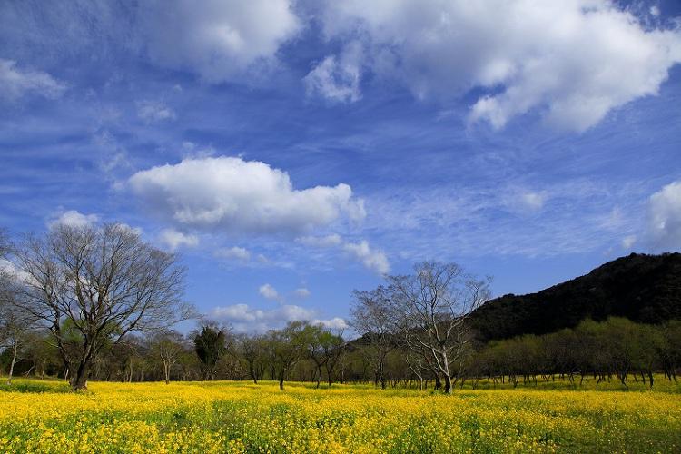 菜の花まつり(3月上旬から)