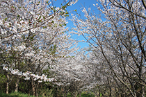 桜開花情報(3月中旬から)